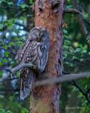Slaguggla / Ural Owl