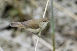 Rörsångare / European Reed Warbler
