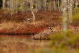 Skogssnäppa / Green Sandpiper