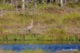 Storspov / Eurasian Curlew