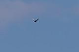 Vitvingad tärna / White-winged Tern