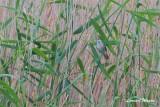 Trastsångare / Great Reed Warbler