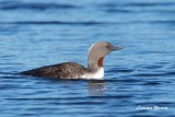 Smålom / Red-throated Loon