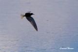 Svarttärna / Black Tern