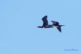 Storskarv / Great Cormorant
