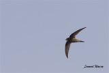 Tornseglare / Common Swift