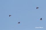 Skogsduva / Stock Dove