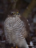 Sparvhök / Sparrow Hawk