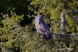 Lappuggla / Great Grey Owl