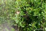 Sävsångare / Sedge Warbler