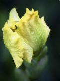 First Iris in the rain.