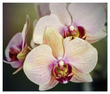 Costco Orchid
