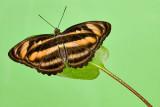 Athyma nefte subrata -f. subrata (Colour Sergeant)