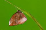 Elymnias penanga penanga (The Pointed Palmfly)
