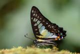 Graphium procles (Kinabalu Bluebottle)