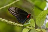 Atrophaneura nox noctis  (Blue Batwing)