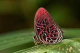 Paralaxita damajanti lola (Malay Red Harlequin)