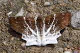 Odontoptilum pygela pygela (The Banded Angle)