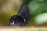 Papilio acheron (Bornean Mormon)