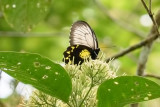 Troides andromache  (Kinabalu Birdwing)