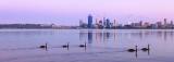 Black Swans on the Swan River at Sunrise, 18th November 2012