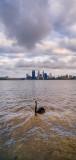 Black Swan on the Swan River at Sunrise, 5th November 2013
