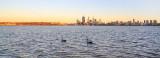 Black Swans on the Swan River at Sunrise, 10th November 2013