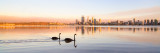 Black Swans on the Swan River at Sunrise, 27th January 2014
