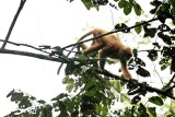 Maroon Leaf Monkey (Presbytes rubicauda)