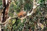Bornean Blackbanded Sqirrel (Callosciurus orestes)