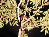 Bornean Striped Palm Civet (Arctogalidia stigmatica)