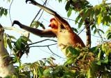 Probiscis Monkey (Nasalis larvatus)