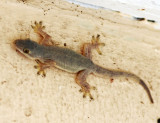 Four-clawed House Gecko (Gehyra mutilate)