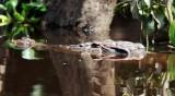 Estuary Crocodile (Crocodylus porosus)