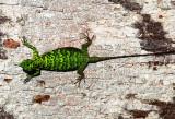 Dusky Flying Lizard (Draco obscurus)