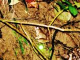 Great River Frog (Limninectes leporinus)