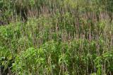 Native Thyme (Ocimum tenuiflorum)