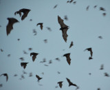 # flying-fox (3) #