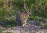 Desert Cottontail Rabbit (2)