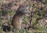 Round-tailed Ground Squirrel (2)