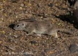 Round-tailed Ground Squirrel-2244.jpg