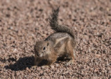 Harris's Antelope Squirrel (1)