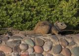 Rock Squirrel (1)