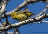 Wilson's Warbler (female)-4308.jpg