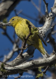 Wilson's Warbler (female)-4280.jpg