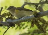 American Redstart (female)-5905.jpg