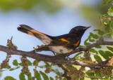 American Redstart (male)-5941.jpg