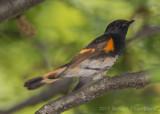 American Redstart (male)-5966.jpg