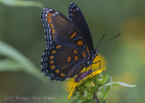 Red-spotted Purple-8101.jpg