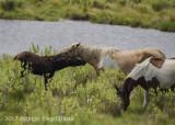 Chincoteague Horses-0036.jpg